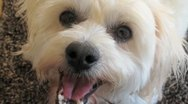 Stock Video Footage of AUSTRALIA-DOG-MALTESE CROSS 2