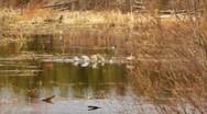 Canada Goose Honking Taking Flight Lake to Woods Stock Footage