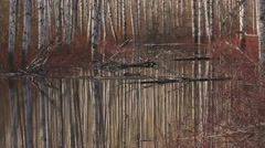 Springtime Birch Trees Reflecting in Forest Pool - pan Stock Footage