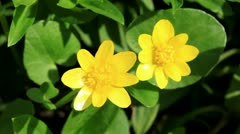 Spring blooms of yellow flowers primroses Stock Footage