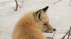 Wild Red Fox Profile Against Snow close-up Stock Footage