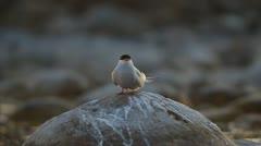 Arctic Tern (Sterna paradisaea) Stock Footage