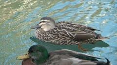 Ducks Stock Footage