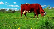 Cow on meadow Stock Footage