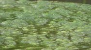 Green Floating Algae Stock Footage