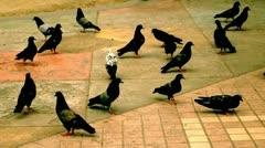 Herd of pigeons, bird, animal, public. Stock Footage