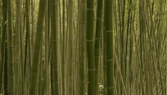 Pan-right shot of Bamboo forest Stock Footage