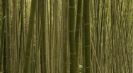 Stock Video Footage of Pan-right shot of Bamboo forest