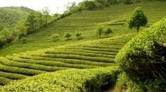 Beautiful fresh green tea plantation Stock Footage