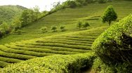 Stock Video Footage of Beautiful fresh green tea plantation