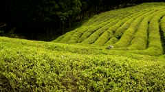 Beautiful fresh green tea plantation and black umbrella Stock Footage
