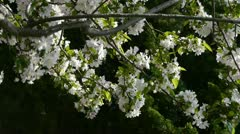 Beautiful cherry blossoms tremble in wind,pine. Stock Footage