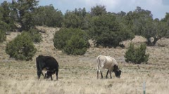 P01981 Cattle Grazing in Utah Shrubland Stock Footage
