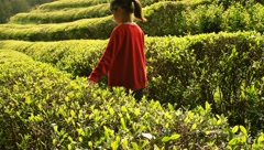 Young Asian girl in red touching tea leaves Stock Footage
