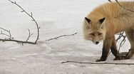 Stock Video Footage of Wild Red Fox in Winter Coat Walking Through Alder