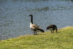 Geese at Lake Wedington - stock photo