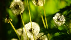 Dandelions in the weeds Stock Footage