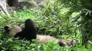 Lazy panda bear eats bamboo leaves while lying down Stock Footage