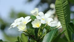 White frangipani flower in a garden, Thailand. Stock Footage