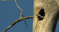 Amid Nature - Piliated Woodpecker Chick in Nest Stock Footage