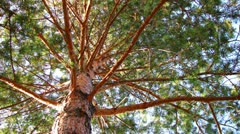 Pine tree dolly shot time lapse low angle view - stock footage