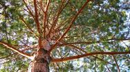 Stock Video Footage of Pine tree dolly shot time lapse low angle view