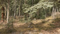 Walking through the Northern Woods Stock Footage