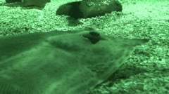 Blue Spotted Stingray 4 (Taeniura Lymna) 1 Stock Footage
