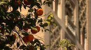 Seville oranges spain Stock Footage