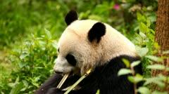 Giant panda eating bamboo Stock Footage