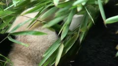 Head of a giant panda covered in bamboo leaves Stock Footage