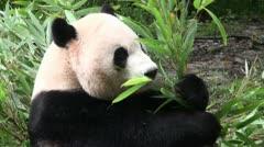 Panda bear eating bamboo Stock Footage