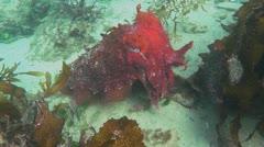 Australian cuttlefish Stock Footage