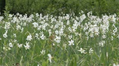 Narcissus flowering in the glades Stock Footage
