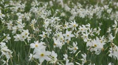 Wild white narcissus flowers waving in the wind Stock Footage