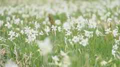 Wild white narcissus flowering fields in the spring wind Stock Footage