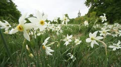 Wide angle close up view of wild white daffodils Stock Footage