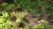 Stock Video Footage of hd of newborn baby geese following their mother
