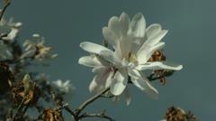 Beautiful star magnolia closeup Stock Footage