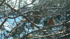 Winter robin Stock Footage