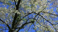 Mature blooming dogwood tree Stock Footage