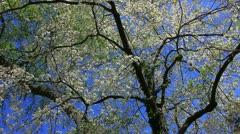 Mature white dogwood tree Stock Footage