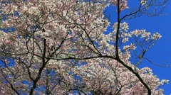 Pale pink spring Stock Footage