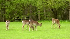 Deer grazing in bavaria germany Stock Footage