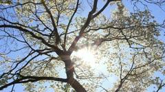 Spring dogwood tree and sunshine Stock Footage