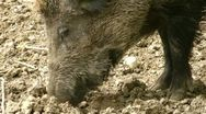 Stock Video Footage of close up of a wild hog digging in the dirt