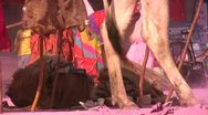 Close up of cow legs and people cleaning up after the Holi festival in India Stock Footage