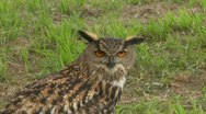 Stock Video Footage of eagle owl close up 01