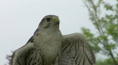 Saker falcon close up 01 Stock Footage