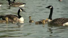 Canada Goose and Goslings on Water Stock Footage